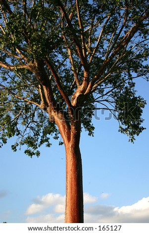 black cherry tree bark. lack cherry tree bark. lack