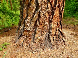 Red Base - The base of a large Ponderosa pine tree at a primitive campsite on Abbott Creek - north of Camp Sherman, OR