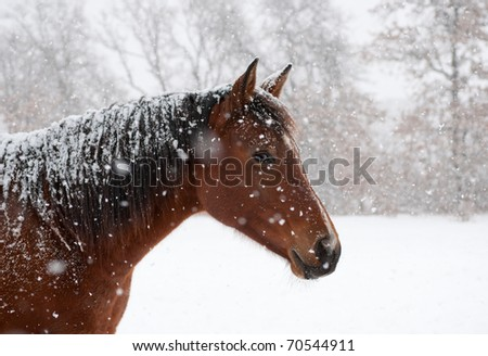 Red bay horse in heavy snow fall with snow all over her