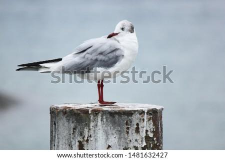 Red beak seagull or Mackerel Gull - native of New Zealand and quite European