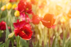Red beautiful tulips field in spring time, seasonal natural floral background with sun shining.