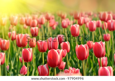 Red beautiful tulips field in spring time with sun rays