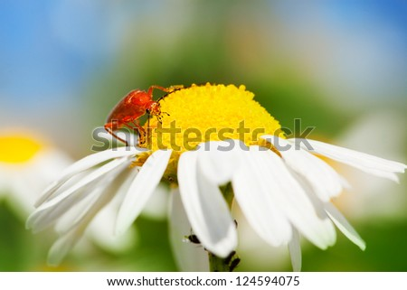 Red Beetle on a flower