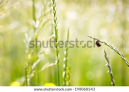 Stock Photo red beetle on spikelet in nature on a blurred background. macro