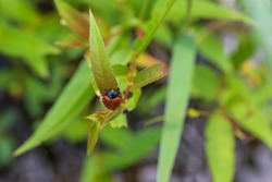Red beetle with a black head on a green leaf in the grass.