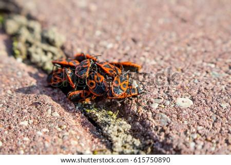 Red beetles macro