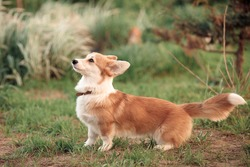 red beige little corgi puppy wags its long tail standing on the green grass