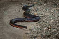 Red-bellied Black Snake - Pseudechis porphyriacus species of elapid snake native to eastern Australia.