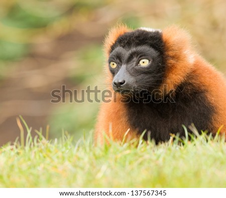 Red-bellied Lemur (Eulemur rubriventer) in a grass field