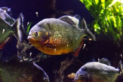 Red bellied piranha in a dark background
