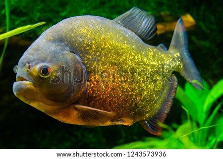 red bellied piranha in close up, a colorful glittering tropical fish in the colors gold, orange and red.