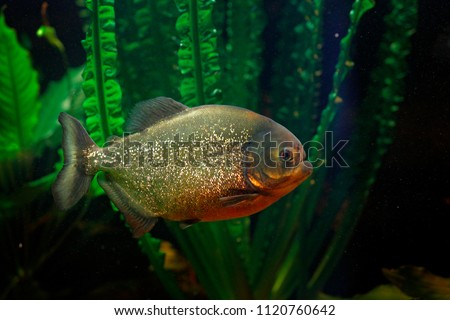 Red-bellied piranha, Pygocentrus altus, danger fish in the water with green water vegetation. Floating predatory animal in nature river habitat, Amazon, Brazil.