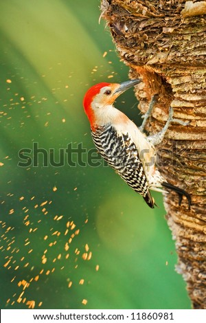 red-bellied woodpecker at work on nest hole in palm tree trunk, actual wood chips captured in shot