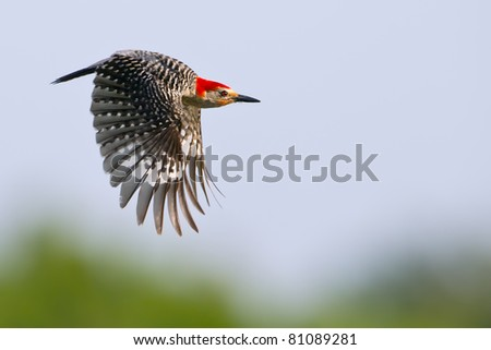red-bellied woodpecker flying from nest hole in florida wetland against light blue sky