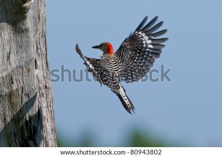 Red Bellied Woodpecker Babies Red Bellied Woodpecker Flying