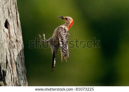 red-bellied woodpecker in flight and bringing food for chick at nest hole in florida wetland