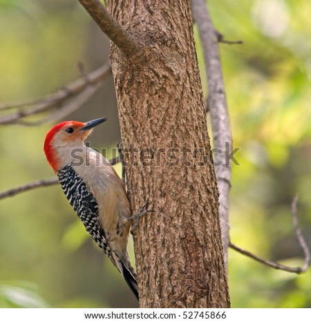 Red-bellied woodpecker, Melanerpes carolinus, perched on the side of a tree