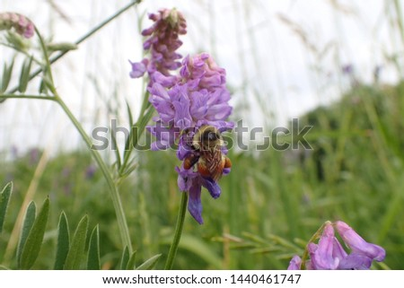 Red-belted Bumblebee (Bombus rufocinctus) feeding on lilac purple flowers of Cow Vetch (Vicia cracca)
