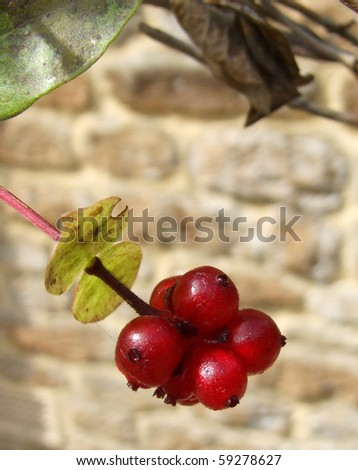 Red Berries against stone wall