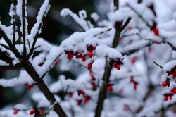 Red berries at brunch and first snow