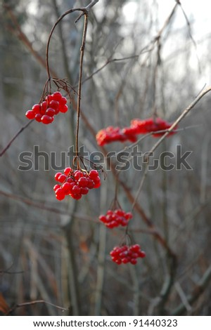 red berries at winter