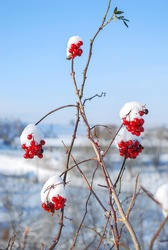 Red berries cover with white snow with background blurry bokeh and blue sky ,beautiful view in winter season in europe.