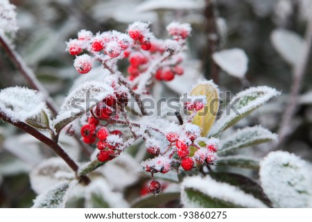 Red berries covered by rime frost. Piedmont, Northern Italy.