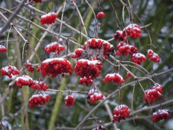 Red berries covered with a thin layer of snow