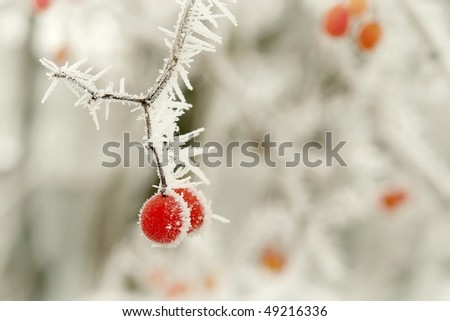 Red berries covered with frost at the beginning of winter.