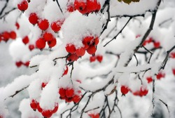 red berries covered with snow at winter