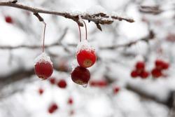 Red berries covered with snow hanging from tree branch.