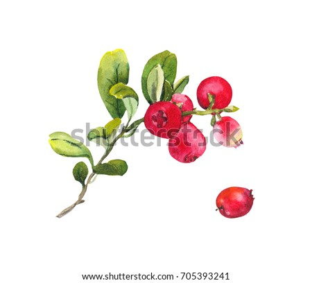 Red berries (cranberry) with leaves. Watercolor