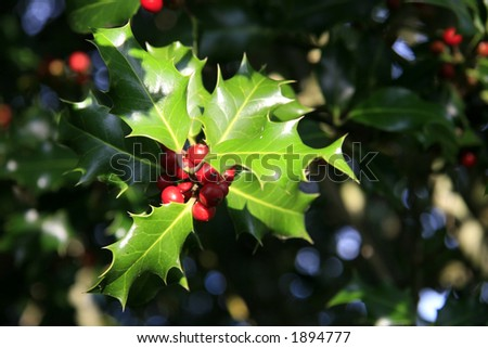 Red berries from a holly tree