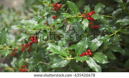 Red berries from a holly tree. Holly tree under rain. #635426678
