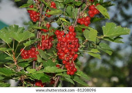 Red berries hang on branches of a currant