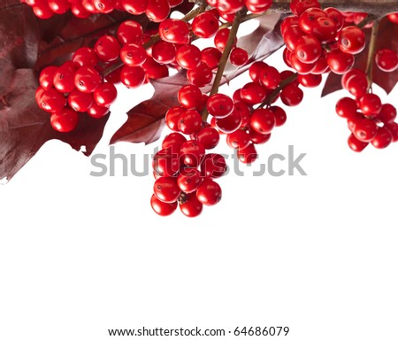 red berries holly  with oak leaves  isolated on white