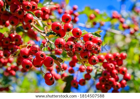 Red berries in autumn garden. Red fruits of Crataegus monogyna, known as hawthorn or single-seeded hawthorn ( may, mayblossom, maythorn, quickthorn, whitethorn, motherdie, haw )  Stock photo ©