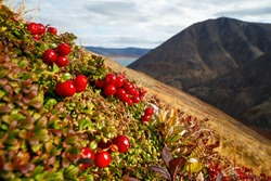 Red berries of a lingonberry (Vaccinium vitis-idaea) on a mountainside. Beautiful mountain landscape with wild berries. Tundra plants. Autumn in the Arctic. September. Nature of Chukotka and Siberia.