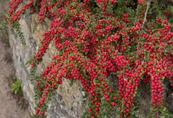 Red Berries of Cotoneaster horizontalis (Wall Spray) in a Coastal Garden in the Seaside Village of Beer on the Jurassic Coast in Rural Devon, England, UK