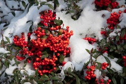 Red berries of hawthorn under snow in a winter forest. Frozen red berries on branches covered in snow during the day in sunny weather. Christmas and New Year snow in the garden. First snow