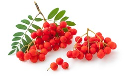 Red berries of rowan isolated on white background