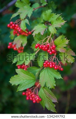 red berries of the viburnum on branch