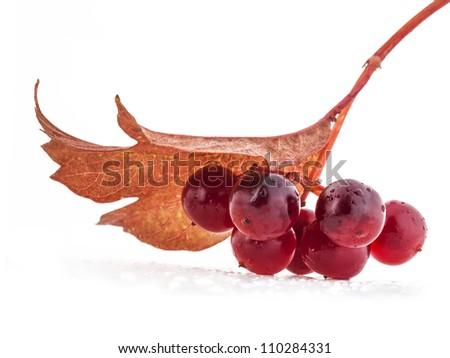 red berries of Viburnum isolate on white