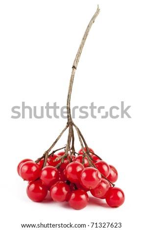 Red berries of viburnum on white