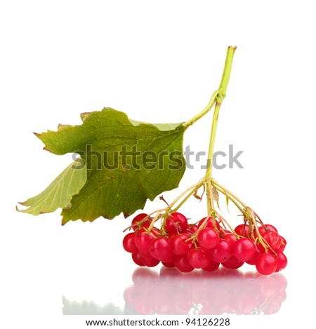 red berries of viburnum with leaf isolated on white