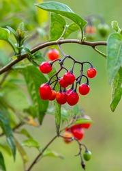 Red berries of woody nightshade, also known as bittersweet, (Solanum dulcamara) seen in August