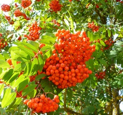 Red berries on mountain ash tree. Close up view ripe orange mauntain ashberries (rowan berries, Sorbus) in autumn with green leaves on background of blue sky. Selective focus. Autumn landscape