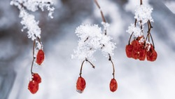 Red berries on twig with hoar frost and ice