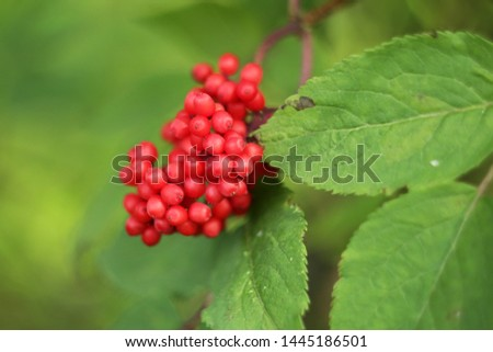 Red berries Poisonous berries Forest berries with leaves  #1445186501