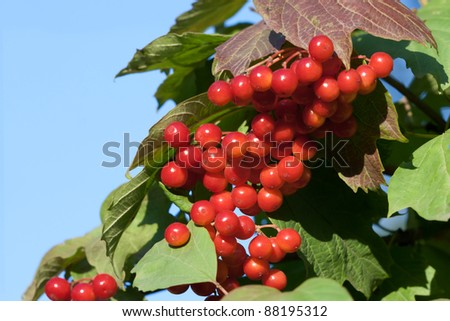 Red berries viburnum against the blue sky